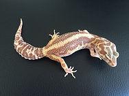 Leopardgecko Phantom Stripe, Hypo TUG Snow Tremper Albino Bold Stripe, leopardgecko-guru, leopardgecko kaufen, leopardgecko available, leopardgecko züchten berlin
