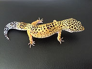 Leopardgecko High Yellow weiblich, leopardgecko-guru, leopardgecko kaufen, leopardgecko available, leopardgecko züchten berlin