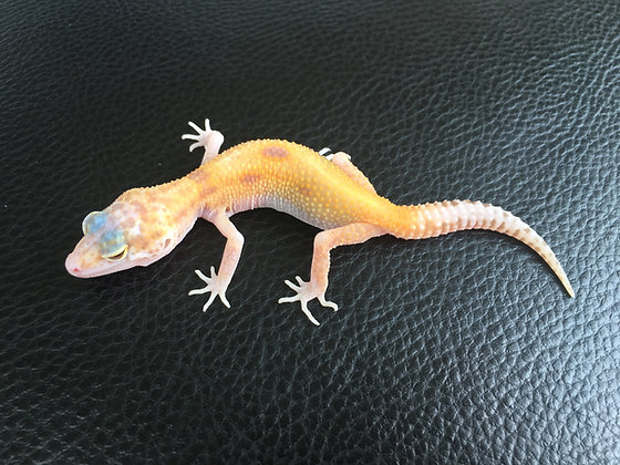 (Giant) W&Y Pastel Gem Snow Raptor - ID: Ge_2