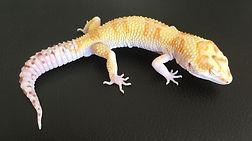 Leopardgecko White & Yellow Bell Albino, leopardgecko-guru, leopardgecko kaufen, leopardgecko available, leopardgecko züchten berlin