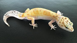 pure White & Yellow Leopardgecko, leopardgecko-guru, leopardgecko kaufen, leopardgecko available, leopardgecko züchten
