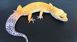 Leopardgecko Giant Electric Tangerine, Carrot tail, leopardgecko-guru, leopardgecko kaufen, leopardgecko available, leopardgecko züchten berlin