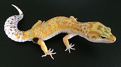 Leopardgecko White & Yellow, leopardgecko-guru, leopardgecko kaufen, leopardgecko available, leopardgecko züchten