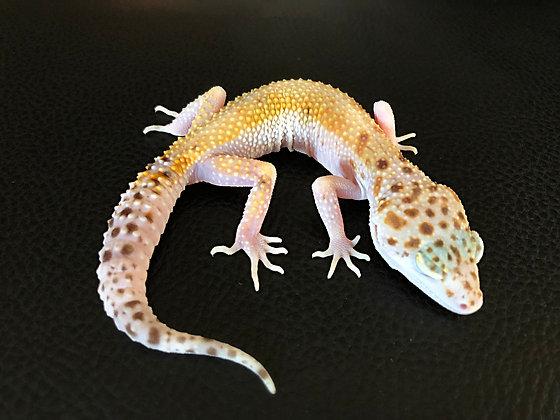 (Pastel) White & Yellow het. Raptor - ID: Wi_4