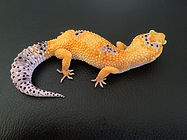 Lepardgecko Enigma Tangerine, leopardgecko-guru, leopardgecko kaufen, leopardgecko available, leopardgecko züchten berlin