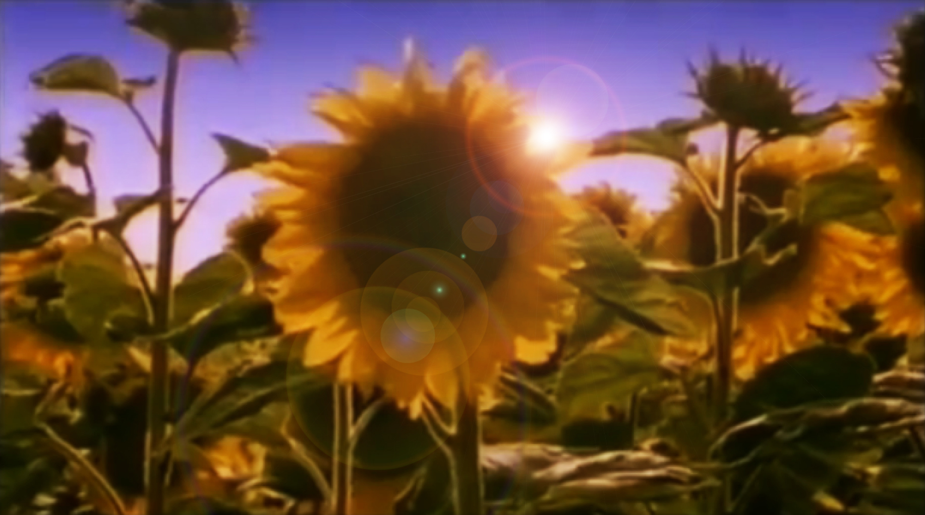 Sunflowers with Flare