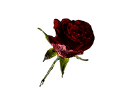 Red%20Rose_edited.png