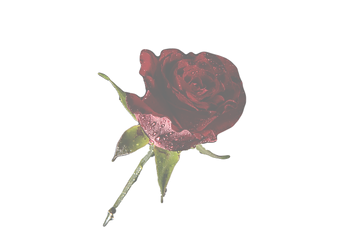 Red%252520Rose_edited_edited_edited.png
