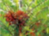 Yellow-tongkat-ali-eurycoma-longifolia