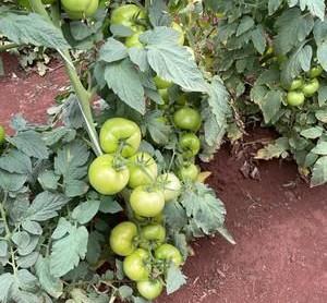 Risco da traça-do-tomateiro leva Sipcam Nichino a desenvolver tecnologia com mecanismo de ação único