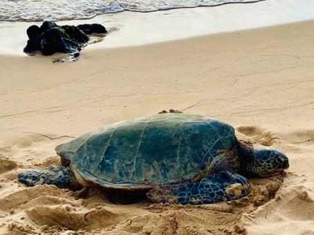 Maui Sea Turtle on Beach