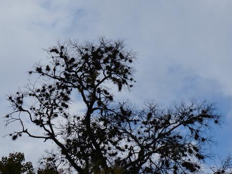 Oak with Friends