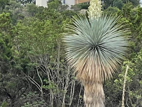 Yucca Bloom & Schoenstatt