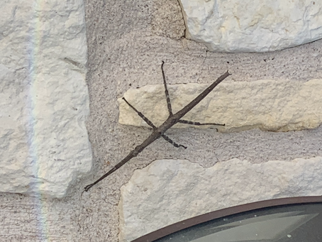 Around Austin-Bugs of Texas-Phasmid