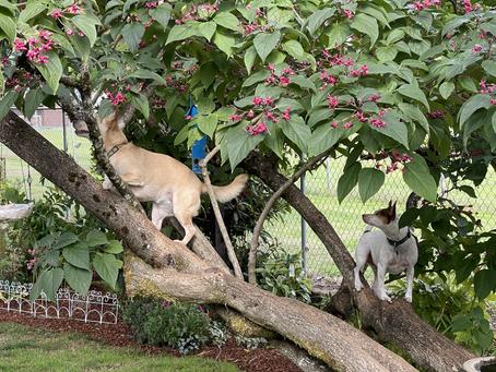 Tree Climbing Pups