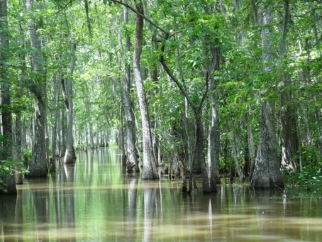 Swamp Ash Gives A Signature Guitar Sound But Supply is Threatened By Climate & Beetle
