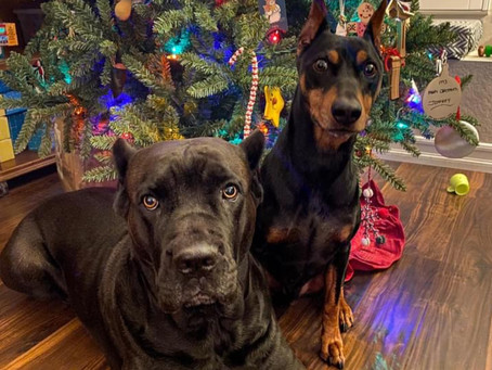 Pooches Portrait by Christmas Tree
