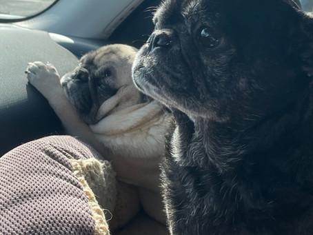 Pugs A Cruising!