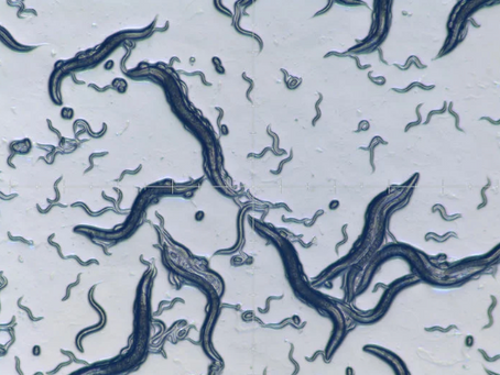 Biological R&D-Studying Insects and Nematodes-Searching for New Disease Sensors