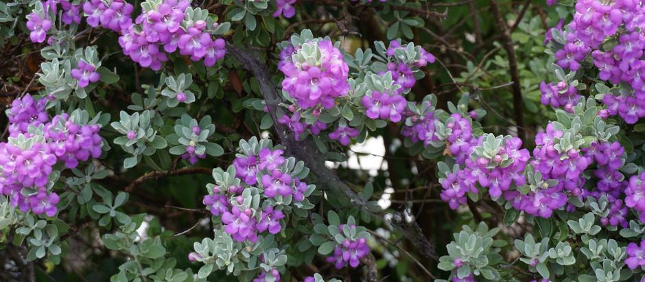 Texas Sage Blooming