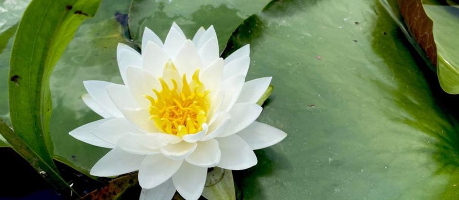 Lily On Lady Bird Lake