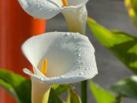 Cala Lily Captured Early Morning