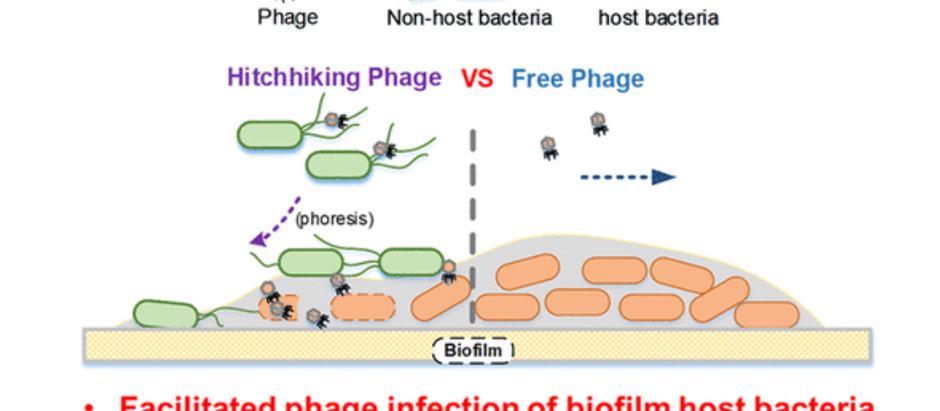Bacteria Killing Phages Ride In Search Of Susceptible Disease-Causing Bacteria