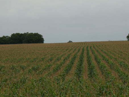 East of Austin Cornfield Country