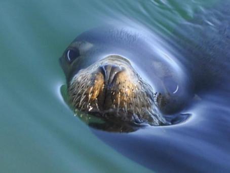 Seal on Bodega Bay
