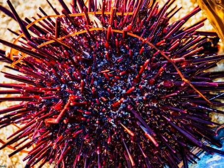 Tidepool Urchin