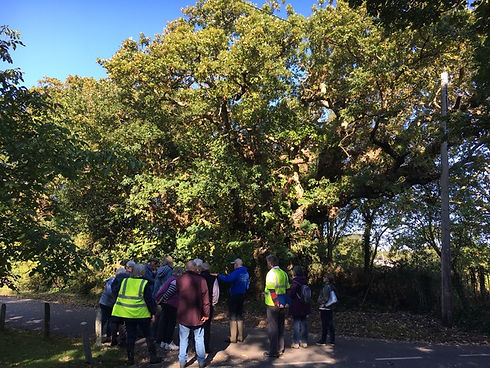 observing ancient oak.jpeg