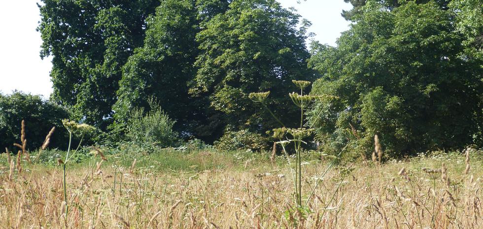 Poplar trees on a field boundary