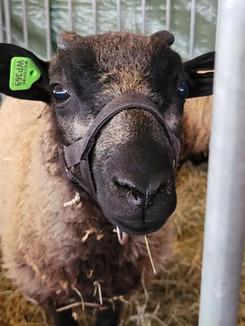 Sheep 24.jpg