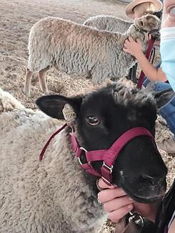 Sheep 21.jpg