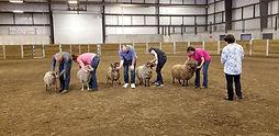 Sheep 8 Senior Ram.jpg