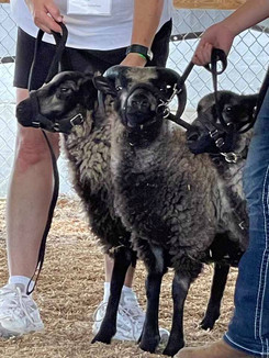 Sheep 18.jpg