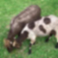 Breeders Directory Scharlau_edited.jpg