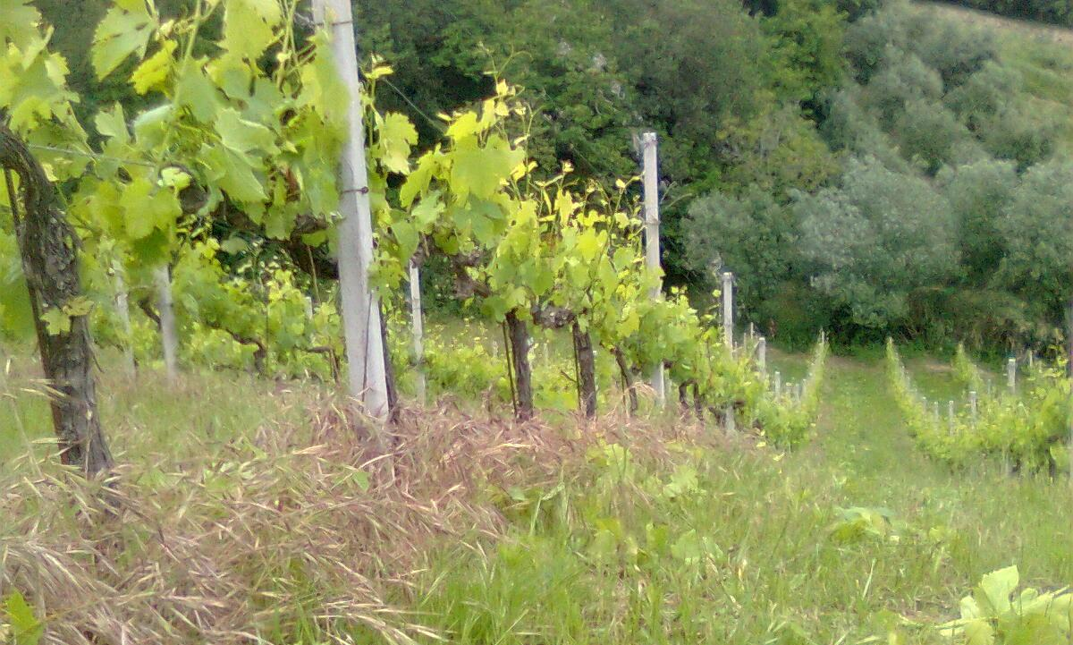 vigna seconda potatura verde e pioggia