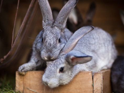 Thinking about getting a rabbit?