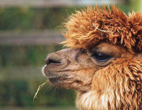 alpaca-eating-hay-HAR2LXA_edited_edited.