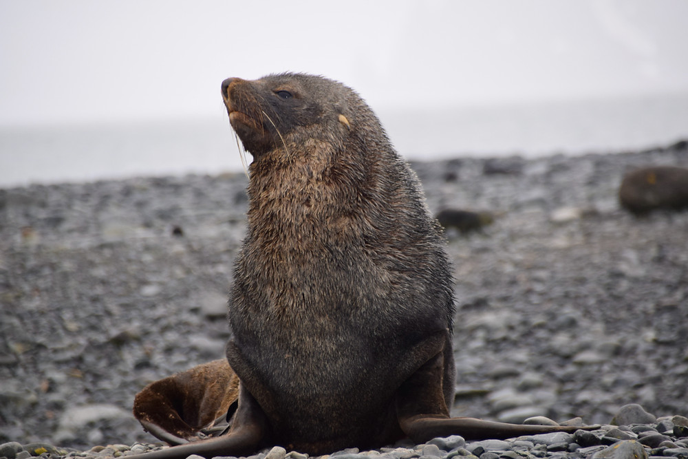 Fur Seal in Yankee Harbour