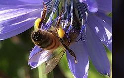 honey-bee2.jpg