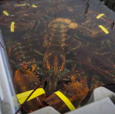 lobsters-in-a-crate-e1404223125377.jpg