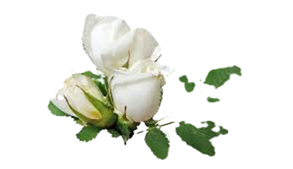 white%20rose%20bud_edited.png