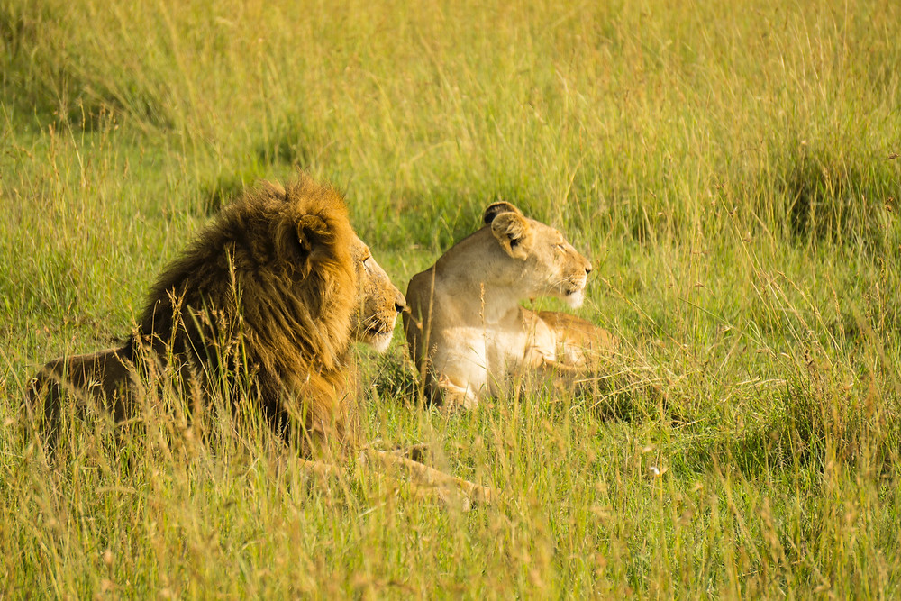 Lion and Lioness laying down in green, savannah looking away from the camera in the same direction