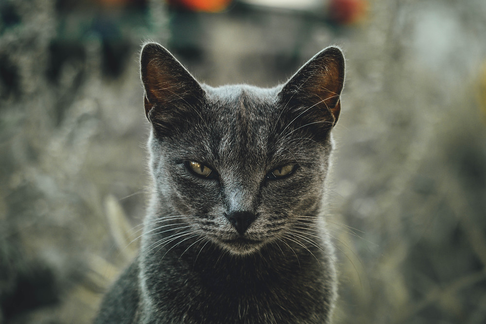 grey cat in forefront glaring at the camera. background is blurred but looks like cat is sitting in tall weeds