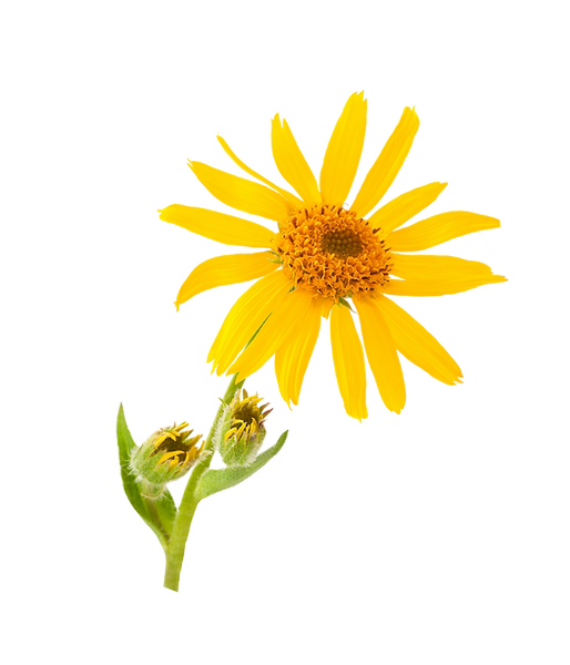 1541_arnica-macerated-oil_LARGE_1_Hi-Res