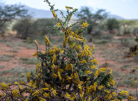 Desert locusts, Famine and Climate Change: The eighth plague sent not by god but by man.