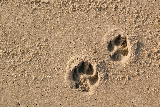 Two dog paw prints over wet sand..jpg
