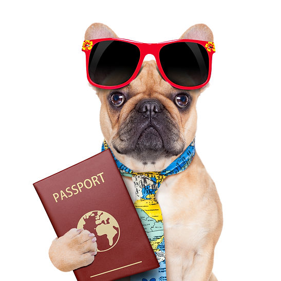 fawn bulldog with passport immigrating o